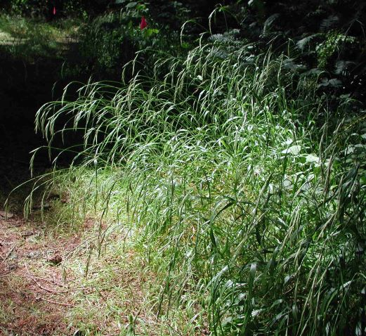 Slender false brome has tall, drooping seedheads which attach directly to the spike.